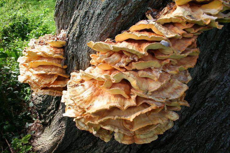 Laetiporus sulphureus FileLaetiporus sulphureus JPG2ajpg Wikimedia Commons