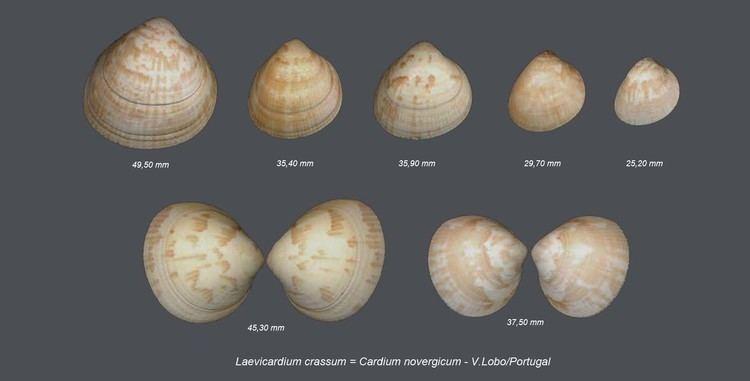 Laevicardium Shells Collection