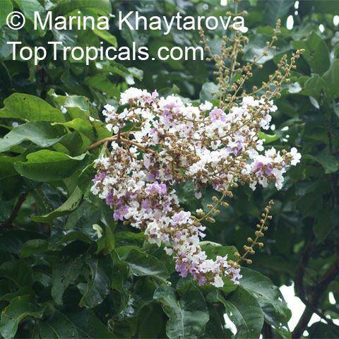Lagerstroemia floribunda Lagerstroemia floribunda Kedah Bungor Crepe Myrtle TopTropicalscom