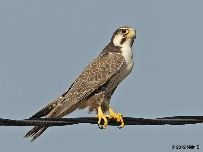 Laggar falcon Oriental Bird Club Image Database Laggar Falcon Falco jugger