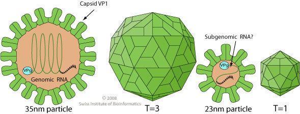 Lagovirus educationexpasyorgimagesLagovirusvirionjpg