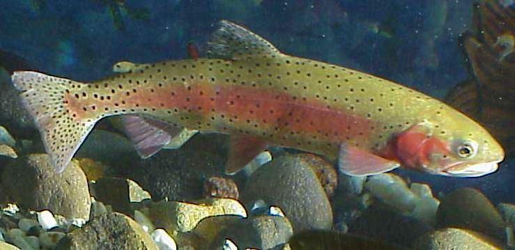 Lahontan cutthroat trout Lahontan cutthroat trout Wikipedia