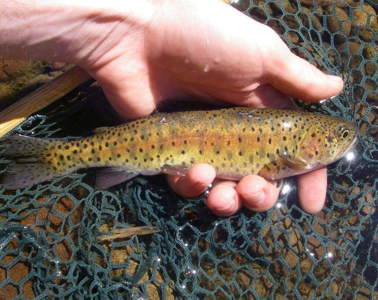Lahontan cutthroat trout wwwnativetroutflyfishingcomimglahontancutthroa