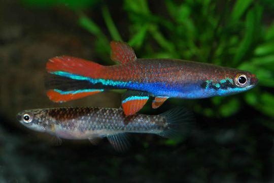 Laimosemion It Rains Fishes Species Description