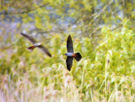 Lakenheath Fen RSPB reserve May 2013 Suffolk Birding with BINS