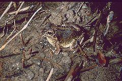 Laliostoma labrosum httpsuploadwikimediaorgwikipediacommonsthu