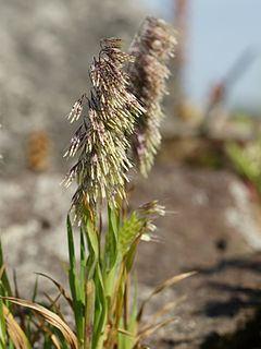 Lamarckia httpsuploadwikimediaorgwikipediacommonsthu