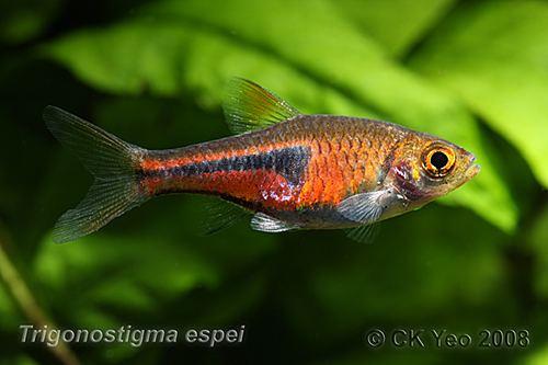 Lambchop rasbora wwwseriouslyfishcomwpcontentuploads201203T