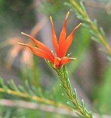 Lambertia ericifolia httpsuploadwikimediaorgwikipediacommonsthu