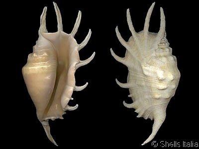 Lambis Lambis Lambis arachnoides