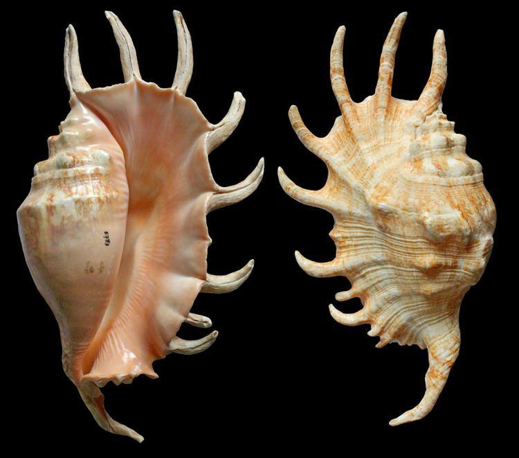 Lambis Gastropoda Stromboidea Species Lambis Millepeda X Sowerbyi
