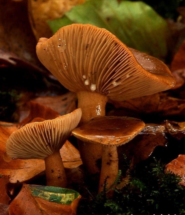 Lamella (mycology)