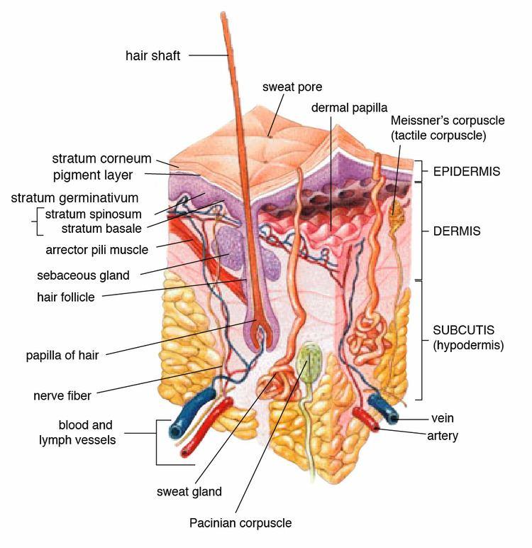 Lamellar corpuscle