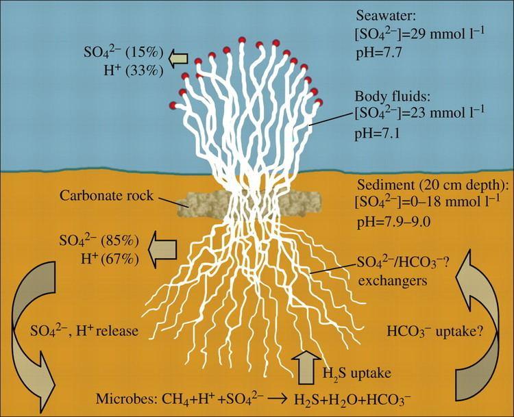 Lamellibrachia The hydrocarbon seep tubeworm Lamellibrachia luymesi primarily