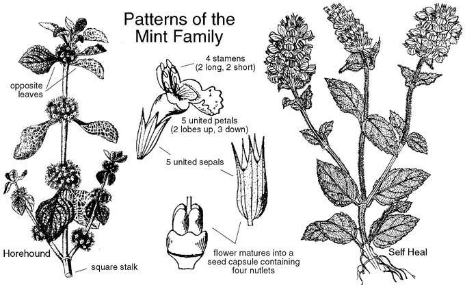 Lamiaceae Lamiaceae Mint Family Labiatae Identify plants and flowers