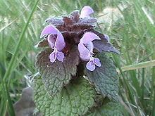 Lamiaceae httpsuploadwikimediaorgwikipediacommonsthu