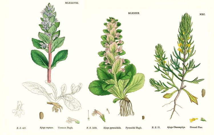 Lamiaceae Angiosperm families Labiatae Juss