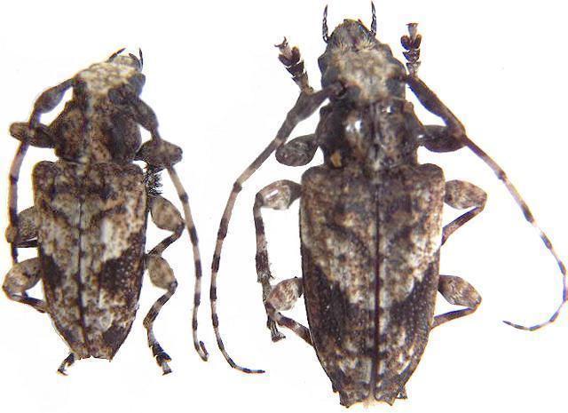 Lamiinae Lamiinae Acanthoderini Acanthoderes Psapharochrus jaspidea