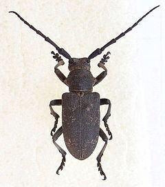 Lamiinae httpsuploadwikimediaorgwikipediacommonsthu