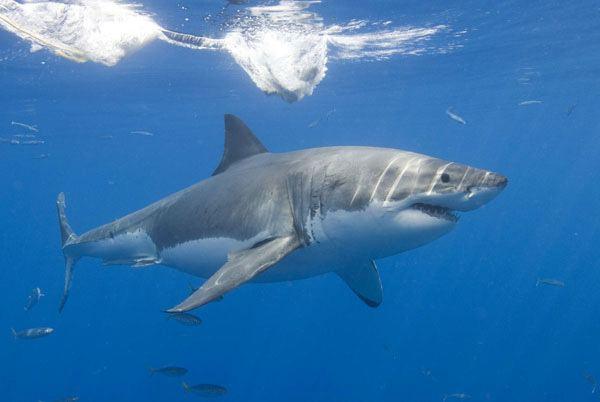 Lamniformes Shark Savers Mackerel Sharks