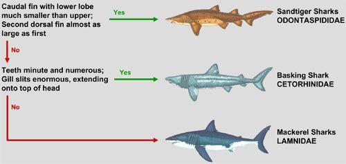 Lamniformes Guide to Shark Identification Lamniformes