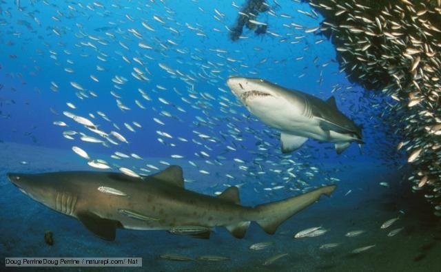 Lamniformes BBC Nature Mackerel sharks videos news and facts