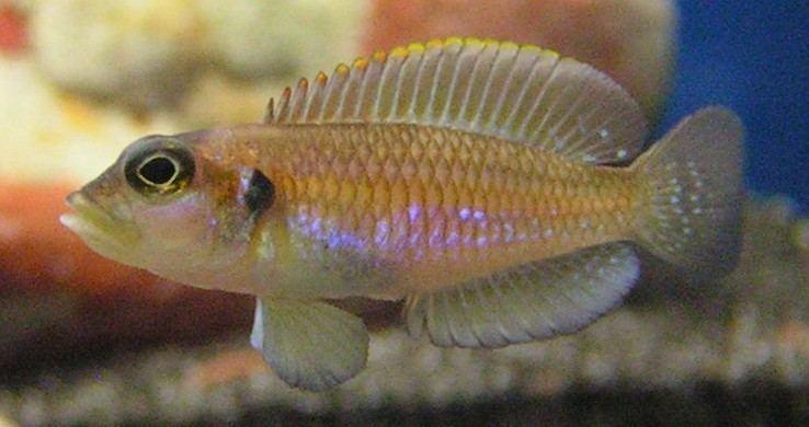 Lamprologus Lamprologus ocellatus Wikipedia