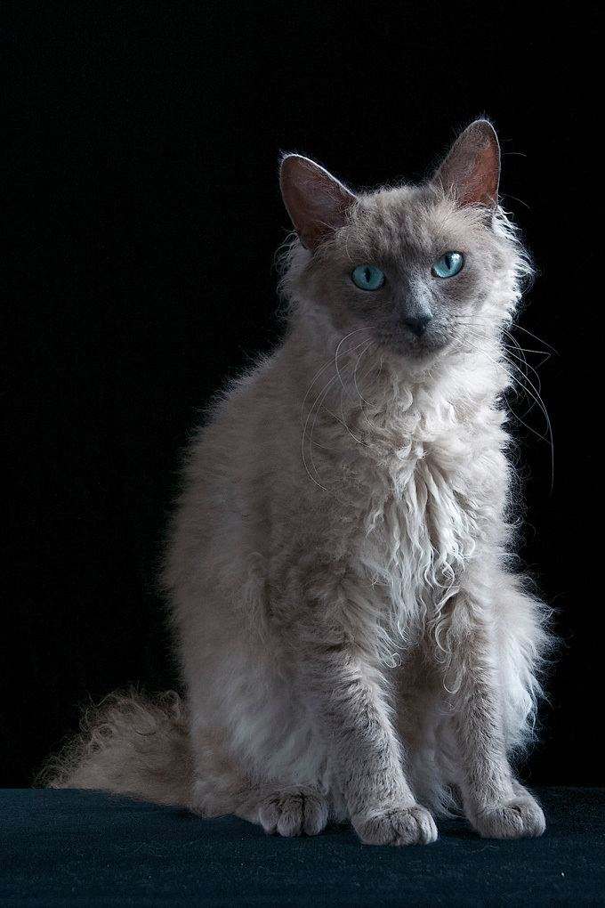 LaPerm LaPerm Cat Breed Information Pictures Characteristics amp Facts