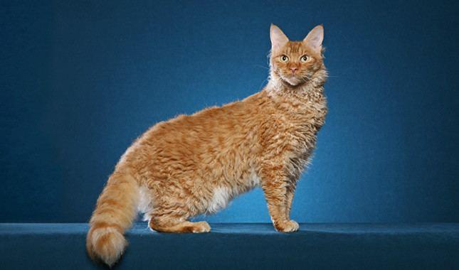 LaPerm LaPerm Cat Breed Information