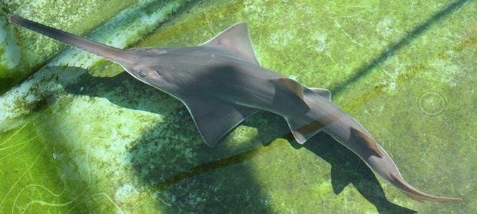 Largetooth sawfish Australian endangered species Largetooth Sawfish