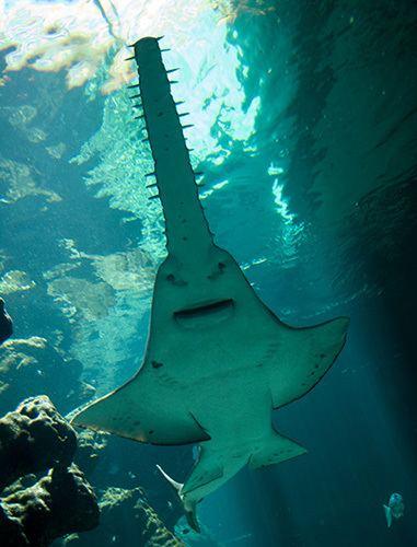 Largetooth sawfish Largetooth sawfish pristis pristis Australian Geographic