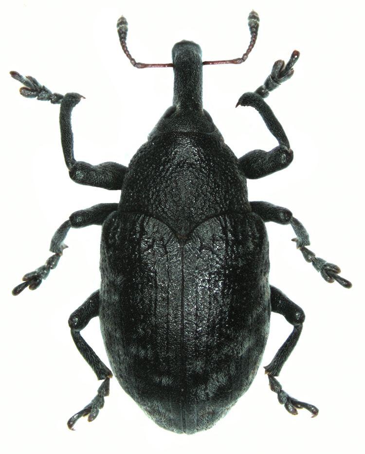 Larinus Larinus Phyllonomeus sturnus Schaller 1783