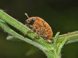 Larinus Larinus obtusus Wikipedia