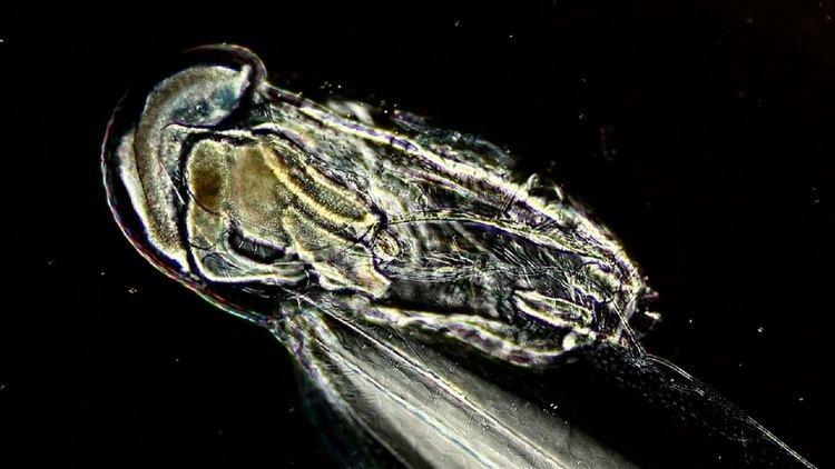 Larvacea Real Monstrosities Larvacea