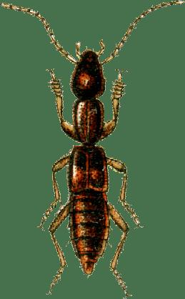 Lathrobium Lathrobium Wikispecies