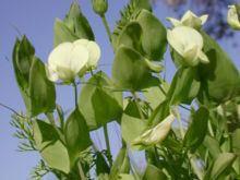 Lathyrus aphaca httpsuploadwikimediaorgwikipediacommonsthu