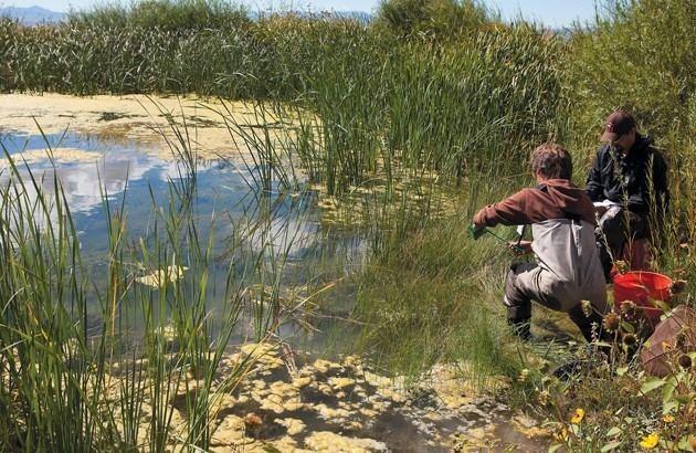 Least chub Least Chub continues Lake Bonneville legacy Tooele Transcript