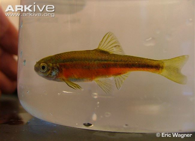 Least chub Least chub videos photos and facts Iotichthys phlegethontis ARKive