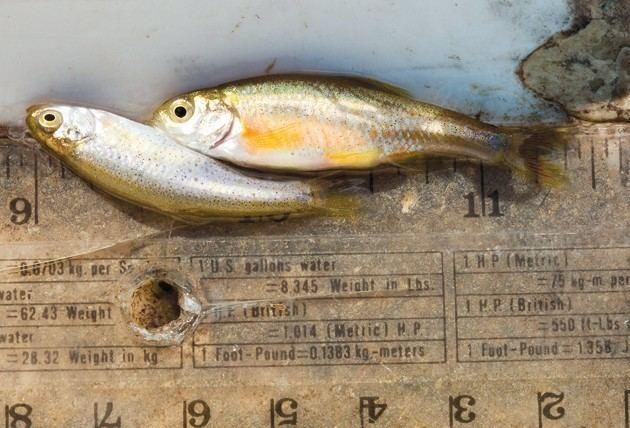Least chub Least chub loses potential endangered species status Tooele