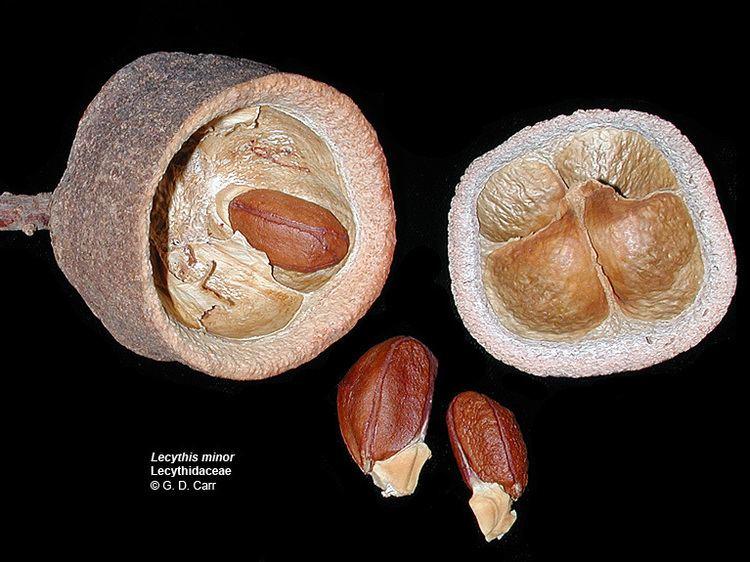 Lecythidaceae Flowering Plant Families UH Botany