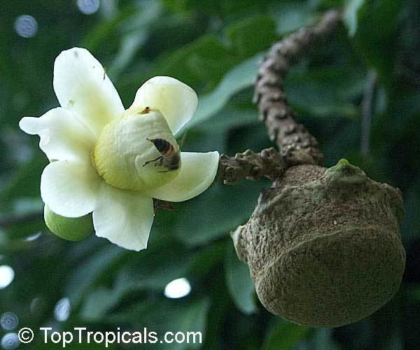 Lecythis Lecythis minor Lecythis elliptica Monkey Pot TopTropicalscom