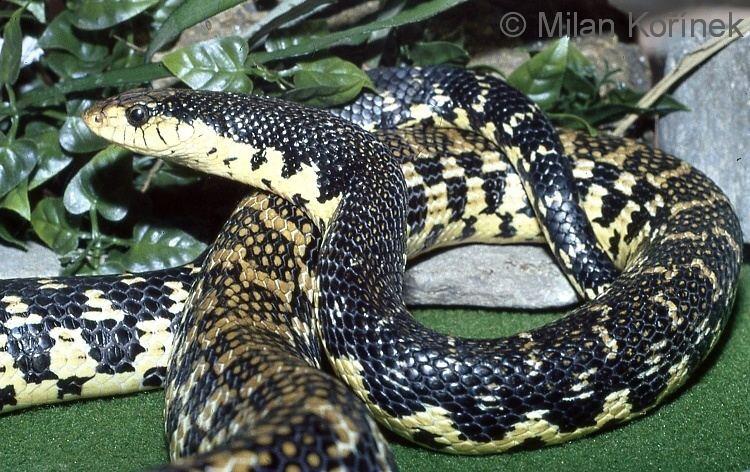 Leioheterodon Image Leioheterodon madagascariensis Malagasy Giant Hognose Snake
