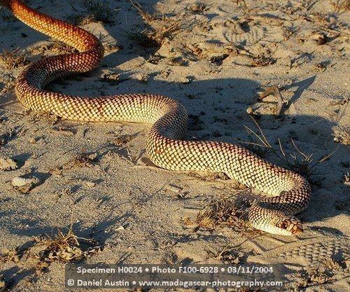 Leioheterodon geayi Leioheterodon geayi Snake Database