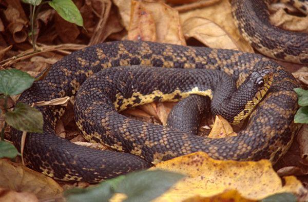 Leioheterodon madagascariensis Leioheterodon madagascariensis Malagasy giant hognose snake