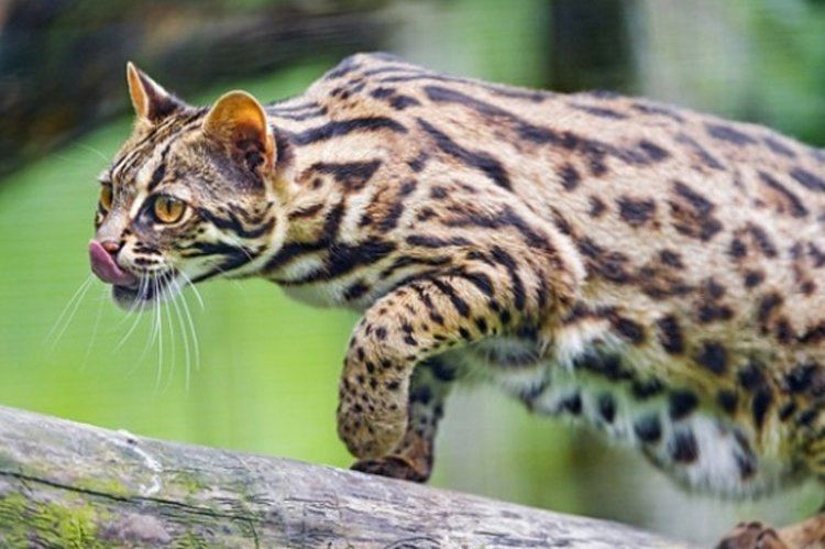 Leopard cat Farmers in China domesticated Asian Leopard Cats 5000 Years Ago