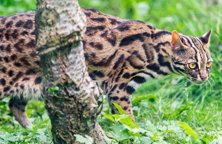 Leopard cat Ancient Chinese Domesticated Leopard Cats 5500 Years Ago