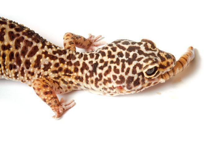 Leopard gecko - Alchetron, The Free Social Encyclopedia