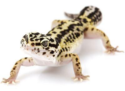 Leopard gecko - Alchetron, The Free Social Encyclopedia