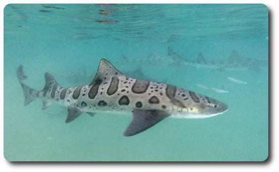 Leopard shark The Leopard Shark Is A Interesting Type Of Shark Shark Sider