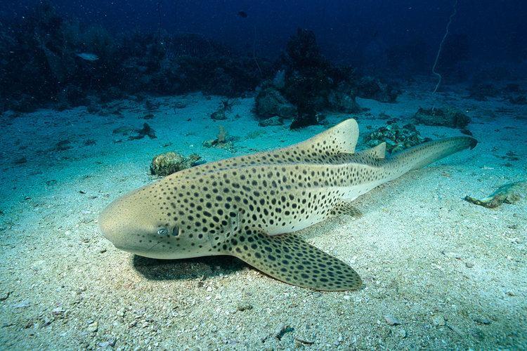 Leopard shark Shark Gives Rare 39Virgin Birth39 to Three Pups